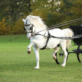 Nice welsh mountain pony stallion running white in autumn Stock Image