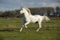 Nice welsh mountain pony stallion running white in autumn Royalty Free Stock Photo