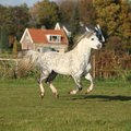 Nice welsh mountain pony stallion running white in autumn Stock Photos