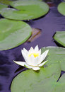 Nice white water lily flower Royalty Free Stock Photo