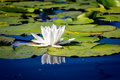 Nice wild white water lily flower Royalty Free Stock Photo