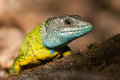Nice yellow and blue lizard in its natural habitat Stock Photography