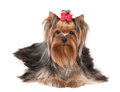 Nice yorkshire terrier isolated on the white background Royalty Free Stock Images