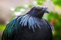 Nicobar pigeon bird with hackles around the neck Royalty Free Stock Photo