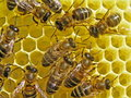 Nids d'abeilles de construction d'abeilles. Photo libre de droits