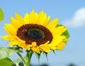 Niebieskie niebo słonecznik Obrazy Stock