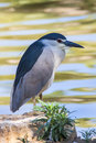 Night Heron Royalty Free Stock Photography