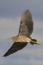 Night heron black crowned flying young bird nicticorax in natural enviroment Stock Image