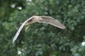 Night heron black crowned flying young bird nicticorax in natural enviroment Stock Photos