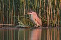 Night heron black crowned hunting in evening nicticorax natural enviroment Royalty Free Stock Images