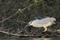 Night heron black crowned nicticorax hunting in natural enviroment Stock Images