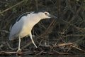 Night heron black crowned nicticorax hunting in natural enviroment Royalty Free Stock Images