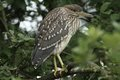 Night heron black crowned young bird nicticorax in natural enviroment Royalty Free Stock Photography