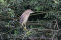 Night heron black crowned young bird nicticorax in natural enviroment Royalty Free Stock Photo