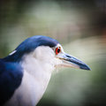 Night heron close up a portrait of a Stock Images