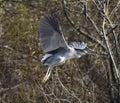 A night heron in flight Royalty Free Stock Photo