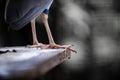 Night heron s foot close up of Royalty Free Stock Image