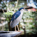 Night heron s portrait a of a a bird Royalty Free Stock Image
