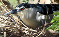 Night heron shot of black crowned breeding at indian zoological park Stock Image