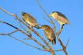 Night herons oasi del torrile parma Royalty Free Stock Image
