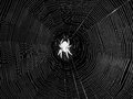 Night spider in center of web black and white shot an australian waiting head down its sticky rounded orb Stock Photo