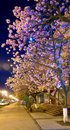 Night urban view with japanese cherry blossom Stock Photos