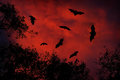 Night wildlife with bats. Giant Indian Fruit Bat, Pteropus giganteus, on red sunset dark sky. Flying mouses in the nature habitat, Royalty Free Stock Photo