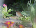 Nightingale luscinia megarhynchos in its natural environment Stock Photography