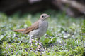 Nightingale luscinia megarhynchos single bird on floor bulgaria may Stock Image