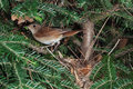 Nightingale at nest with insect prey a common bird luscinia megarhynchos its in a fir tree an its beak Stock Photo