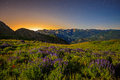 Nightscape with lupine wildflowers in the Utah mountains. Royalty Free Stock Photo
