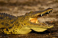 Nile crocodile basking in the sun with its mouth and eyes open Stock Image