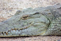 Nile crocodile close up of head Royalty Free Stock Images