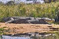 Nile crocodile crocodylus niloticus in kruger national park south africa Stock Image