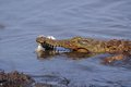 Nile crocodile crocodylus niloticus in kruger national park south africa Stock Photography