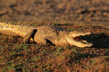Nile crocodile crocodylus niloticus resting on land with gaping jaws south africa Stock Image