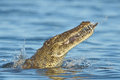 Nile crocodile eating a fish in river in southern africa Stock Photography