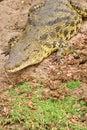 Crocodile on a river bank Royalty Free Stock Photo