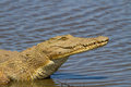 Nile Crocodile on the River Bank Royalty Free Stock Photo
