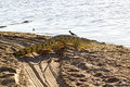 Nile Crocodile, Selous Game Reserve, Tanzania Royalty Free Stock Photo