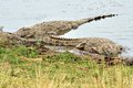 Nile crocodile waiting for prey on riverside Stock Photos