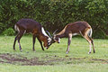 Nile lechwe antelopes Stock Image