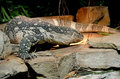 Nile Monitor 2 Stock Images