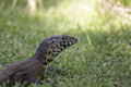 Nile monitor lizard large portrait of a leguaan sitting in the grass Stock Photography