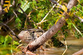 Nile monitor lizard lying in the water Stock Image