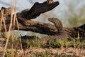 Nile monitor lizard posing varanus niloticus walking next to river namibia Royalty Free Stock Image