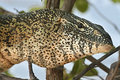Nile monitor varanus niloticus lizard zambia on a branch above the river Stock Images