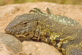 Nile monitor varanus niloticus photographed in kruger national park south africa Stock Images