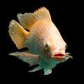 Nile red tilapia fish or oreochromis niloticus isolated on black studio aquarium shot Stock Image