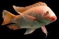 Nile red tilapia fish or oreochromis niloticus isolated on black studio aquarium shot Stock Photos